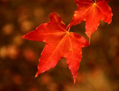 张亚静诗歌《一枚红叶醉饮秋》