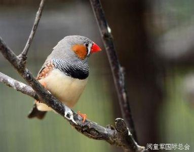 冯骥才散文《珍珠鸟》